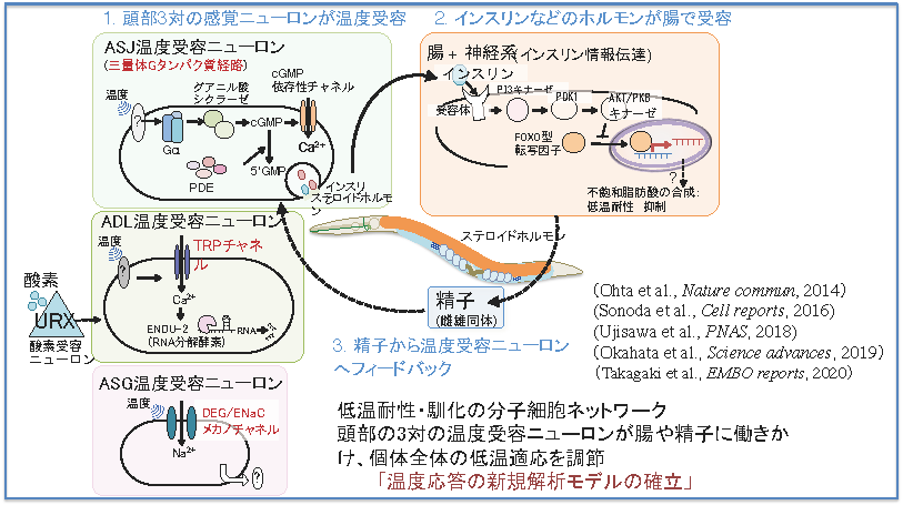皮下神経や腸を介した温度感知・応答の分子組織ネットワーク